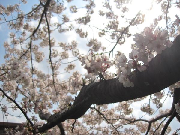 ソメイヨシノ 桜を見上げる